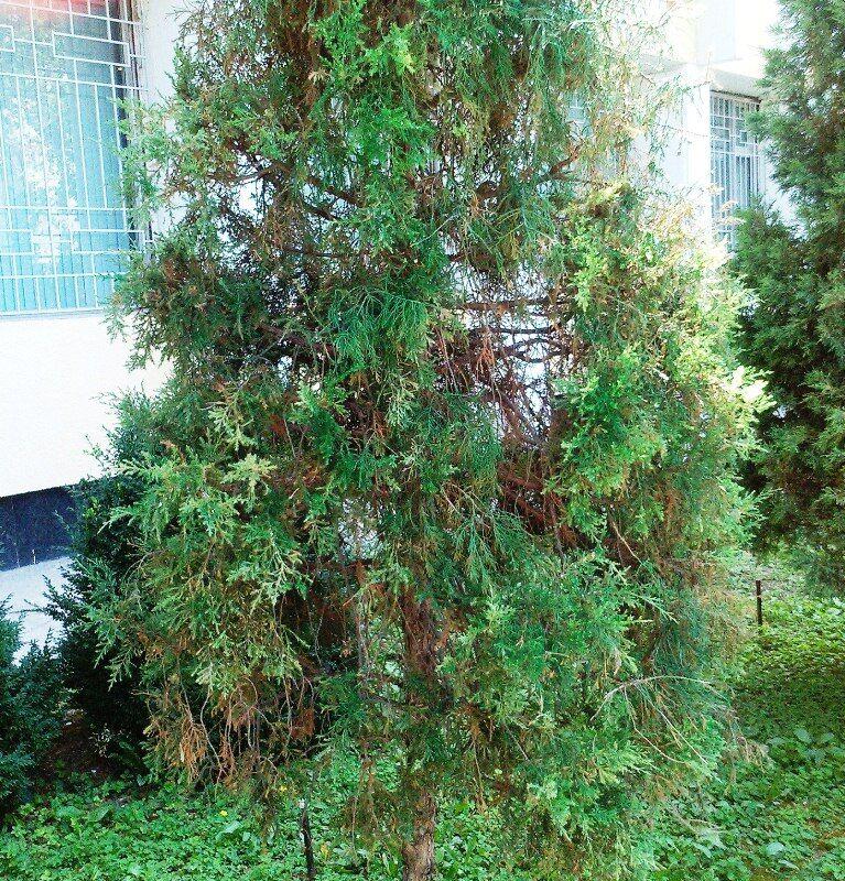 В Узбекистані пожовклі ялинки фарбують у зелений колір