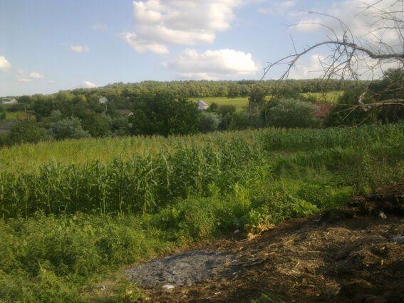 На Буковині чоловік замаскував поле конопель серед кукурудзи