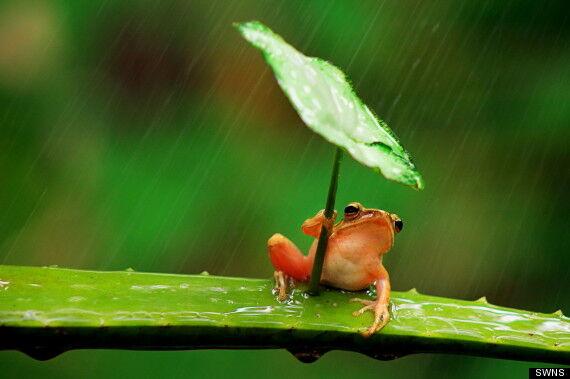 Інтернет підірвала жаба з парасолькою