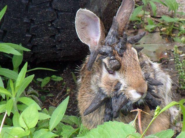 Відео з рогатою кроликом підірвало Інтернет