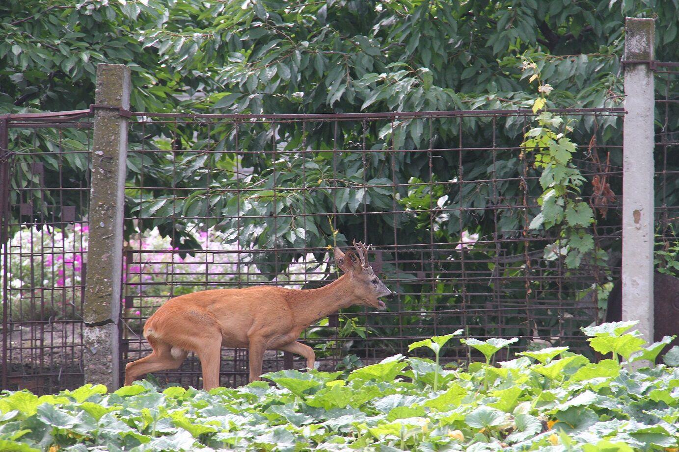 У Мелітополі рятувальники допомогли заблукав оленяти