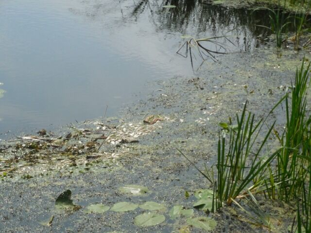 На Житомирщині несподівано подохли багато риби