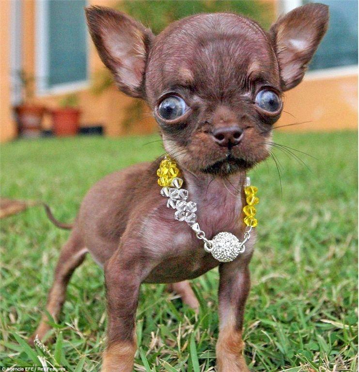 Самая маленькая собака в мире попала в Книгу рекордов Гиннесса