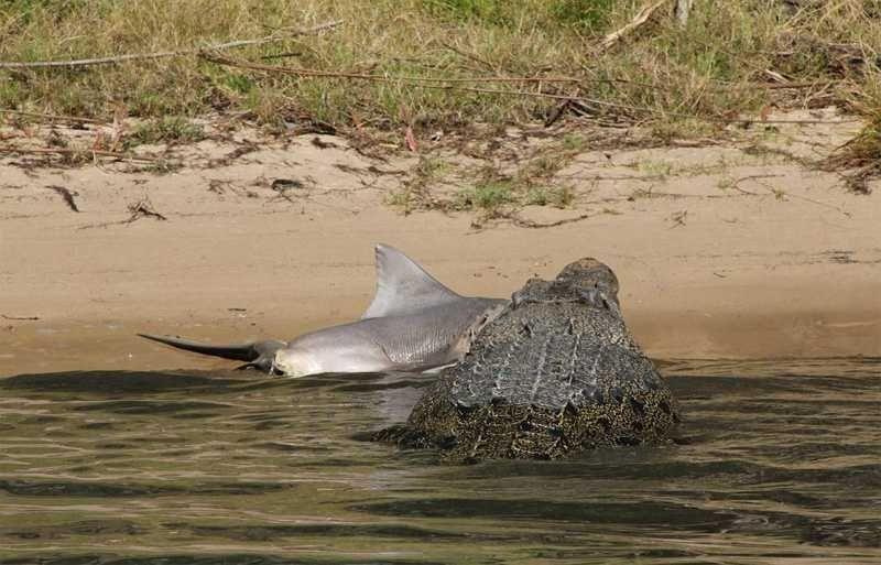 Турист снял на видео кровавую схватку акулы с крокодилом