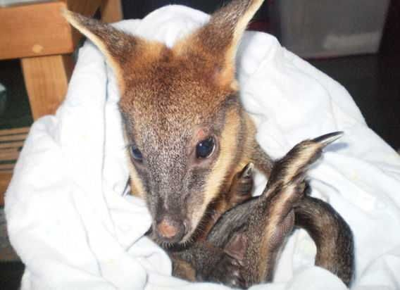Турист врятував кенгуру від смерті, зробивши йому штучне дихання