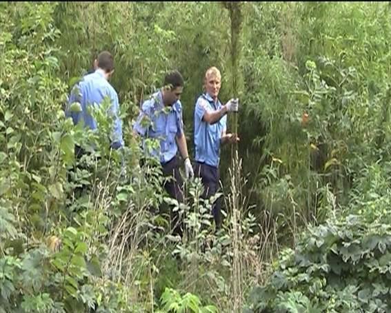 Міліціонери знайшли плантацію конопель на території харківського вузу