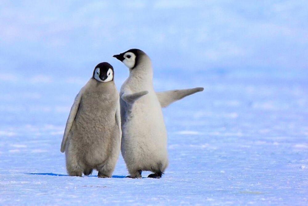 Картинки пингвина прикольные, обручальных колец