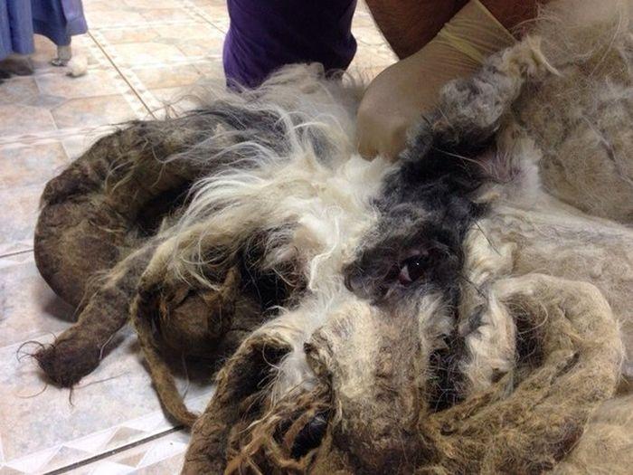 В Новосибирске собака за год превратилась в лохматое чудовище