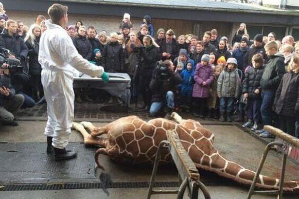Работник зоопарка убил здорового жирафа и бросил в клетку с львами (18+)