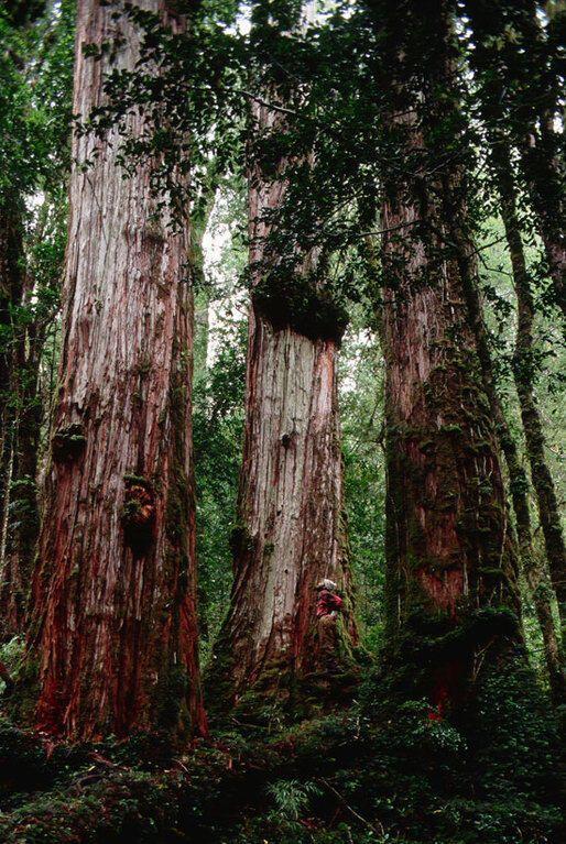 6 самых древних деревьев на планете
