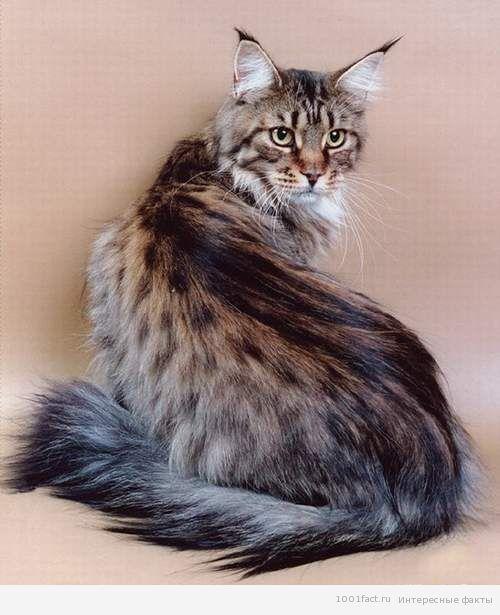 Ода мейн-кунам. Интересные факты о самых больших кошках