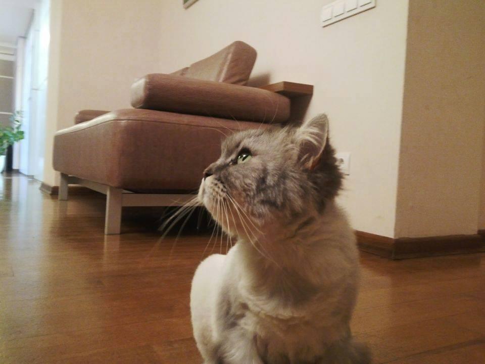 Кошку Бориса Ложкина обрили налысо