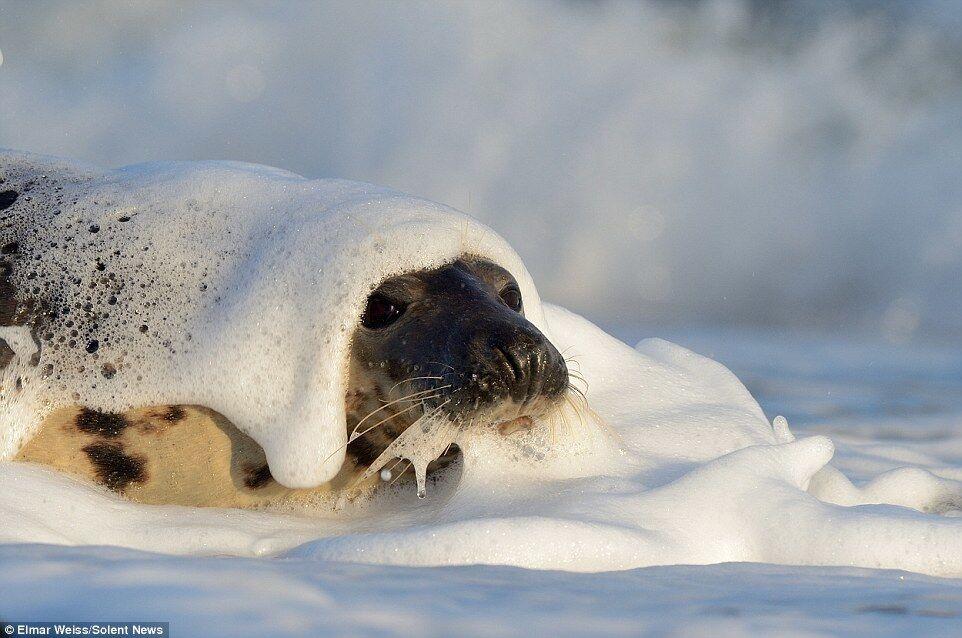Жизнерадостные фото тюленей, которые резвятся в морской пене