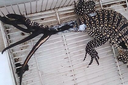 Рекордсменка: аргентинська ящірка відростила шість нових хвостів