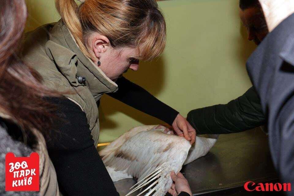 В киевском зоопарке спасли беспомощного лебедя