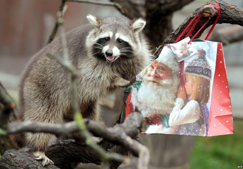 фото енота в новый год