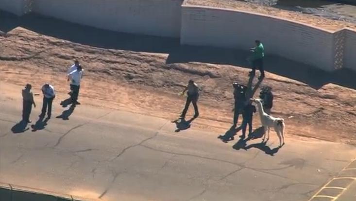 """Полицейское """"сафари"""". В Аризоне офицеры час гонялись за двумя ламами: фото- и видеофакт"""