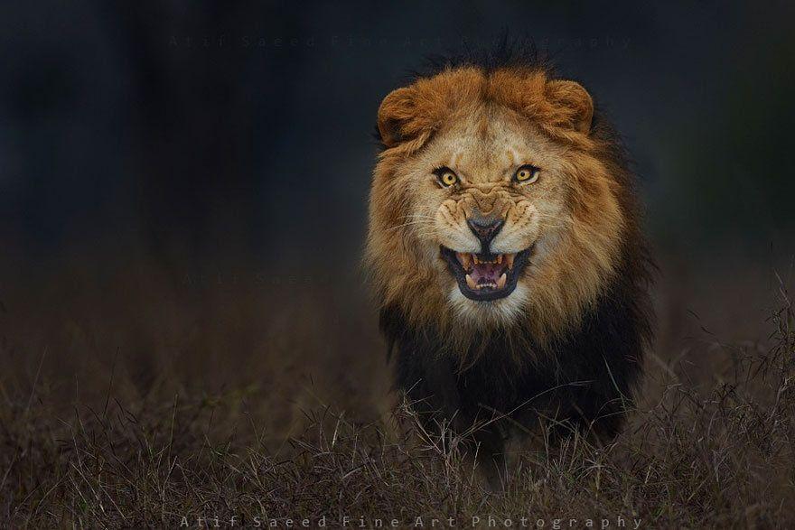 Уникальное фото: за секунду до прыжка льва на фотографа