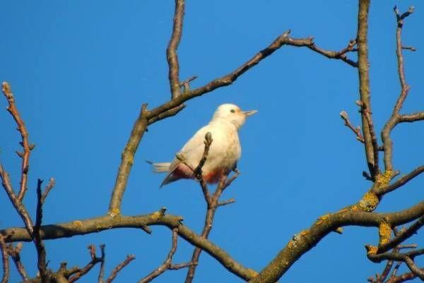 Чудо природы. В Ужгороде нашли уникального дятла-альбиноса