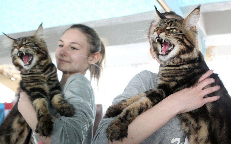 """На выставке кошек показали """"вопящих"""" мэйн-кунов"""