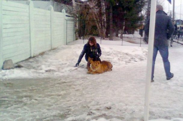 В России лев растерзал ребенка, возвращавшегося из школы