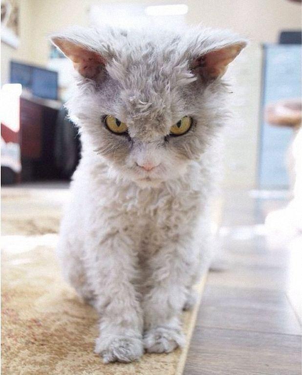 Интернет покорил кот Альберт – самый злобный кот в сети