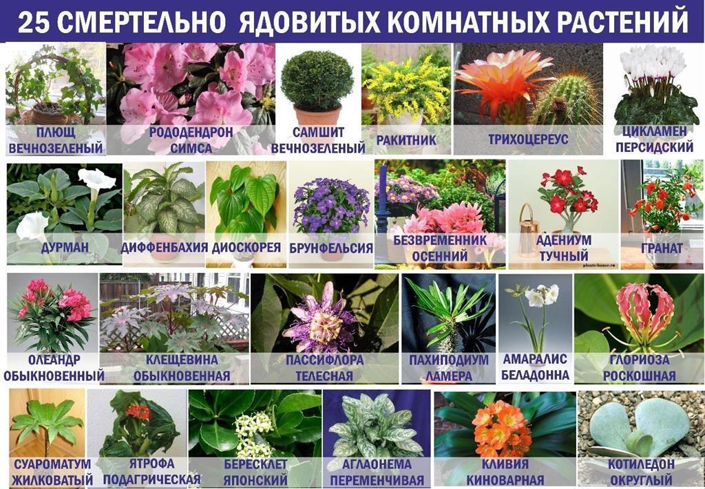 25 смертельно опасных комнатных растений