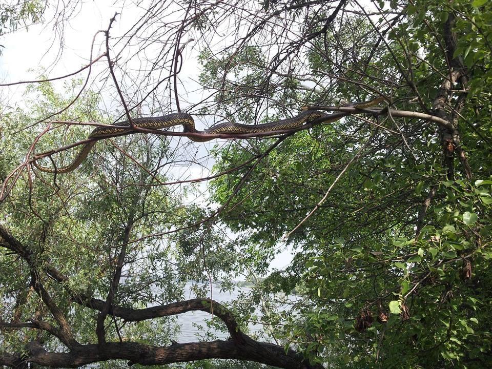 На Хортиці дівчину налякав гігантський змій, що живе на дереві: фотофакт
