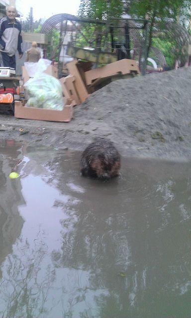 В Ривне дикий бобер купался в луже у супермаркета: фото- и видеофакт