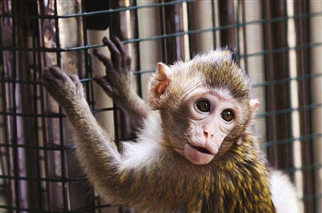 """В Китае нашли обезьяну-""""двойника"""" Бекхэма"""