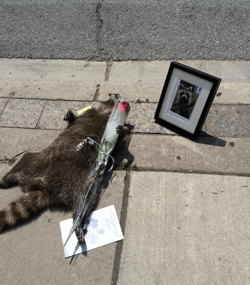 В Торонто устроили мемориал памяти умершего енота