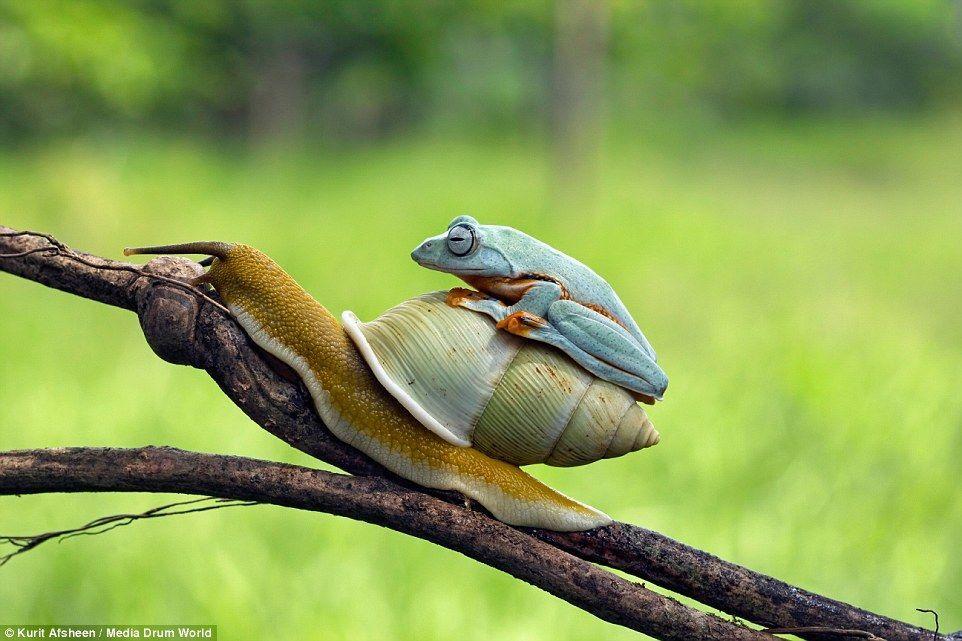 Природное такси: лягушка оседлала улитку для неспешной прогулки