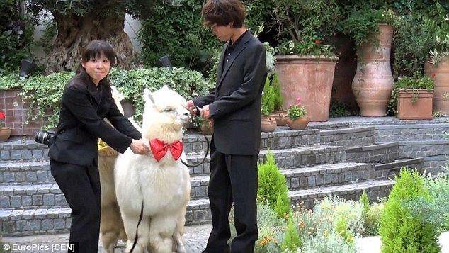 В Японии на свадьбу свидетелем приглашают… альпаку