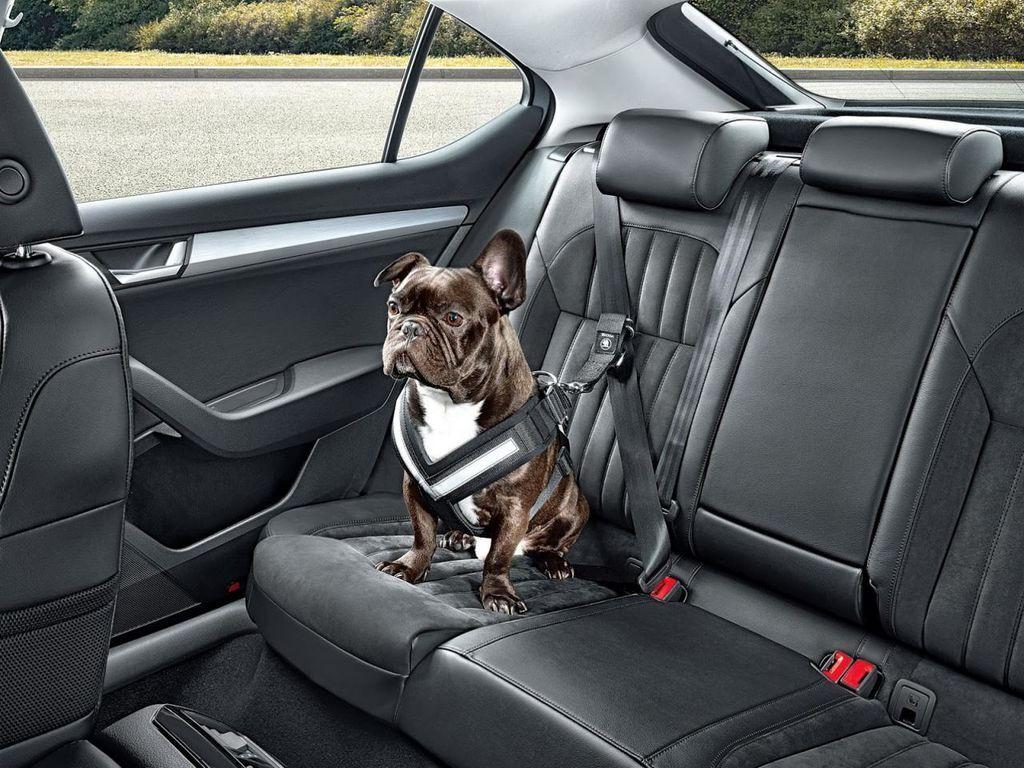 Собака на задньому сидінні автомобіля може вбити власника