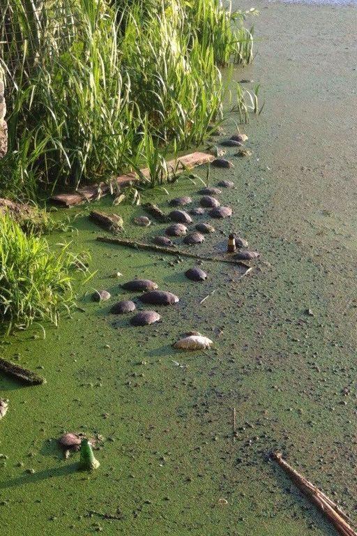 У київському озері знайшли десятки мертвих черепах: фотофакт