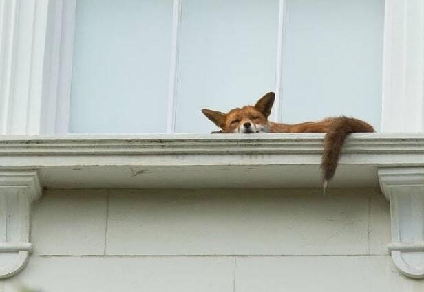 Спящая лисица на подоконнике покорила интернет: трогательное фото