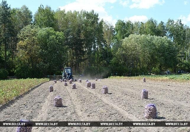 Лукашенко с сыном Колей вручную убрали 18 соток картошки: фоторепортаж