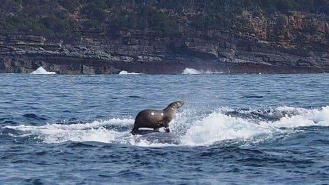 У берегов Австралии морской котик прокатился на спине у кита