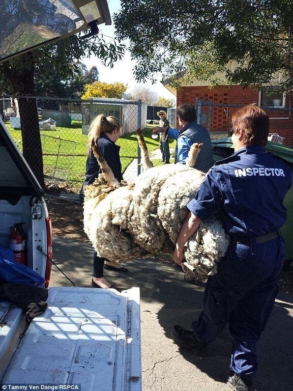 В Австралии нашли невероятно пушистую овцу, которую чуть не убила собственная шерсть