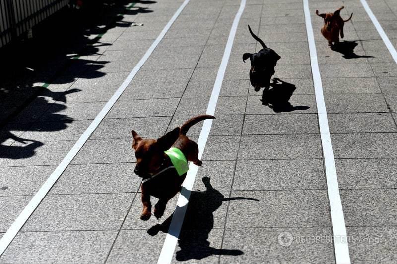 """В Мельбурне прошли """"таксячьи гонки"""": уморительные фото"""