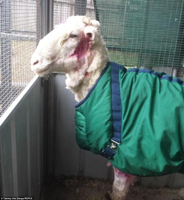С самой пушистой овцы Австралии состригли 40,5 кг шерсти: фотофакт