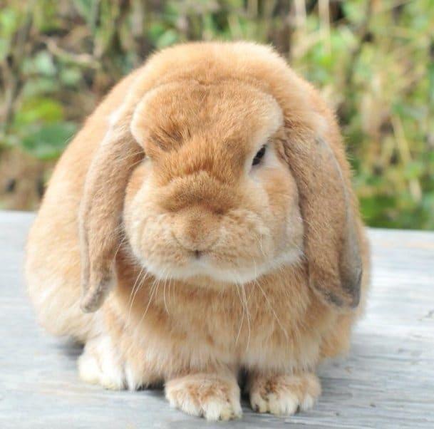 кролик баран декоративный фото были