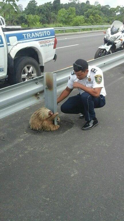Чарівний лінивець, що застряг посеред дороги, став зіркою мережі