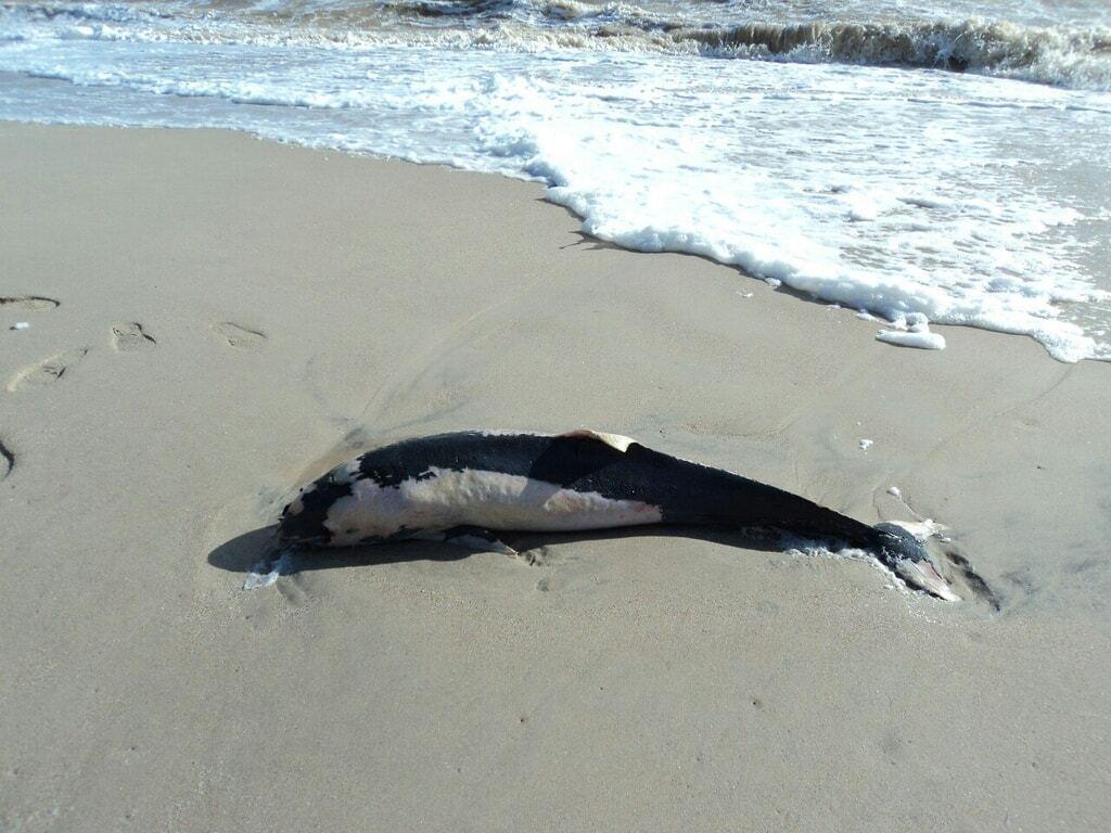В Азовском море массовый мор дельфинов