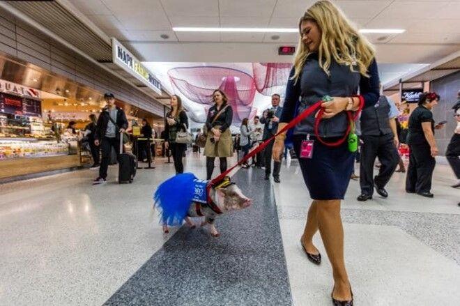 В Сан-Франциско свинья спасает пассажиров аэропорта от стресса: фото