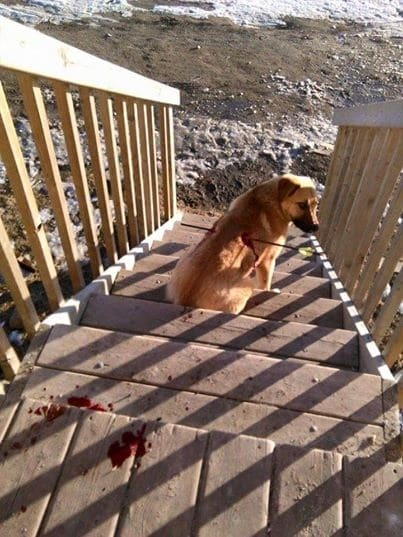 Чудо: в Канаді пес-щасливчик вижив після наскрізного поранення стрілою