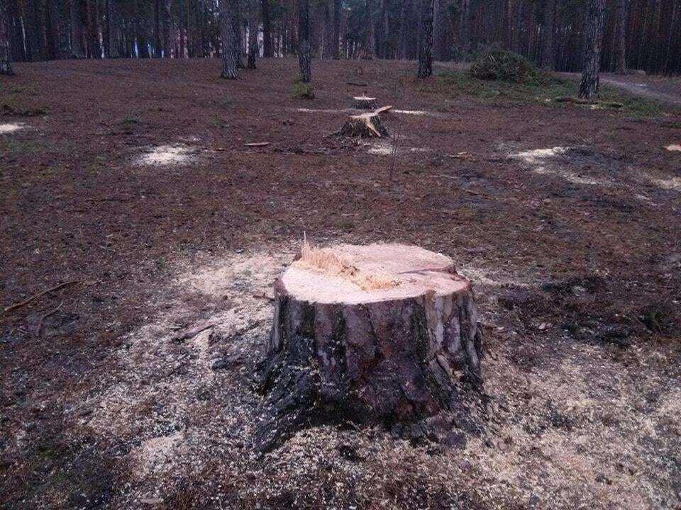 В Ирпене застройщик вырубил столетние сосны в парке