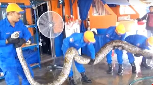 В Малайзии на стройплощадке обнаружили гигантского питона