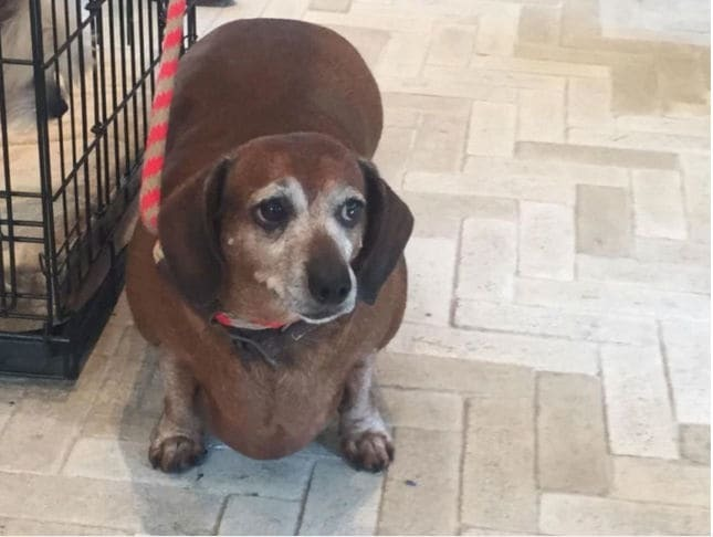 Товстий Вінсент: пес, схожий на сосиску, схуд на 10 кг