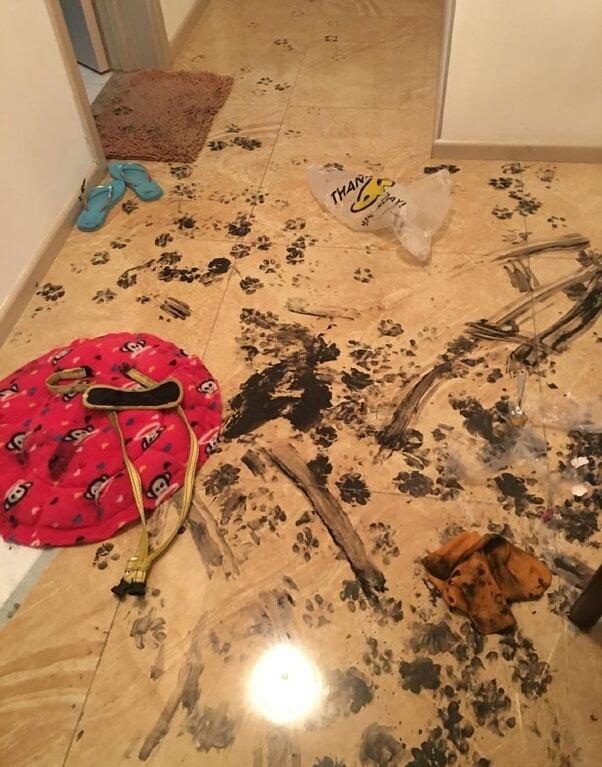 Пушистый хулиган: хаски превратила квартиру хозяев в настоящий ад